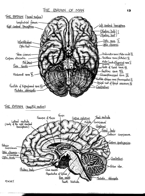 Brain_cross_section_1